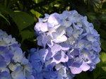 紫陽花〜20080607-1