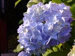 紫陽花〜20080607-2
