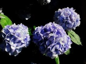 紫陽花〜20130615
