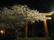 夜桜〜20130401